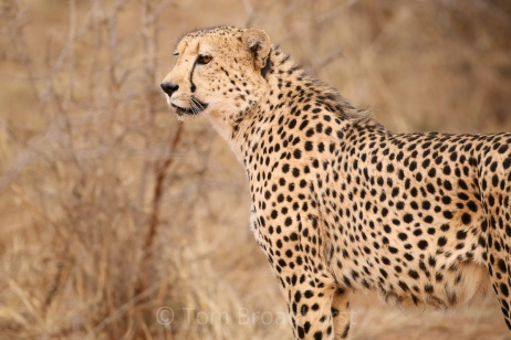 The fastest runner on the planet! Cheetah at Madikwe, South Africa. Copyright Tom Broadhurst.