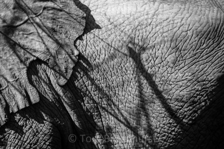 Elephants have such amazingly textured skin - patterned and gnarled and braided, like a river from above. This canvas makes for some interesting compositions when factoring in harsh sunlight and shadows from nearby trees. Copyright Tom Broadhurst.