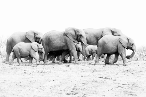 Elephant family group in Madikwe, South Africa. These herds are led by a senior female, a matriarch, that uses their memory and nous to lead their family to food and water. Amazing animals! Madikwe, South Africa. Copyright Tom Broadhurst.
