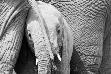 Elephants are marvellous animals to observe - being intelligent, social and displaying a whole gamut of emotions. Here a mother and her calf share a moment of intimacy. Madikwe, South Africa. Copyright Tom Broadhurst.