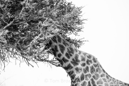 Giraffes use their long necks to reach the highest branches for a snack. This one looks like it is playing hide and seek, not very convincingly. Copyright Tom Broadhurst.