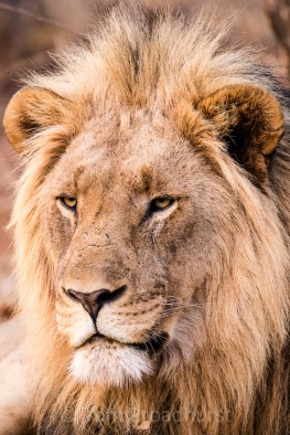 Magnificent male lion, the master of all he surveys in Madikwe, South Africa. Copyright Tom Broadhurst.