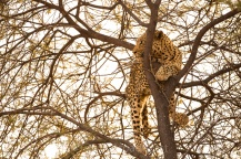 Beautiful leopard in the early evening light, Madikwe, South Africa. Copyright Tom Broadhurst.