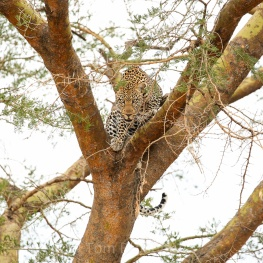 One of my most thrilling wildlife encounters. This male leopard noticed me taking his photo, descended from his perch, charged and snarled at our vehicle. It got my heart racing... Copyright Tom Broadhurst.
