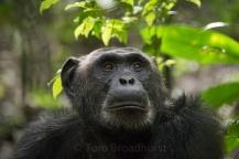 Pensive chimpanzee at Kibale National Park, Uganda.