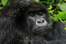 An adult silverback Mountain Gorilla has a moment of peace. Watching these magnificent animals in their natural environment is one of life's great experiences. Such gentle giants - so powerful yet so calm. Less than 900 mountain gorillas remain in the wild. Volcanoes National Park, Rwanda. Copyright Tom Broadhurst.