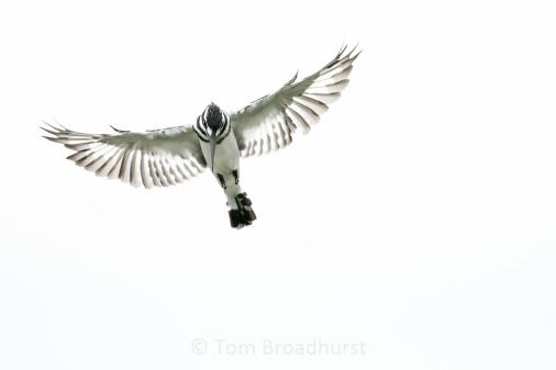 Expert fisherman captured in action.... Pied Kingfisher in Uganda. Copyright Tom Broadhurst.
