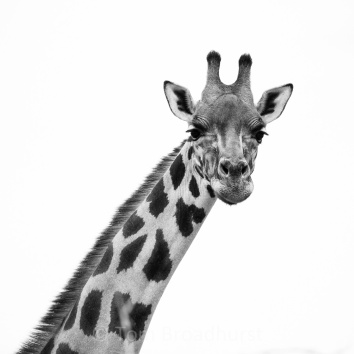 This Rothschild giraffe in Uganda is one of just 700 individuals remaining in the wild. Copyright Tom Broadhurst.