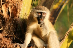 A cool, calm and collected Vervet monkey has a sundown snack, Uganda. Copyright Tom Broadhurst.