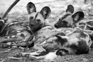 This was my first encounter with endangered African Wild Dogs (AKA Painted Dogs), and it was awesome. There are less than 7000 of these sociable predators surviving in the wild, with their habitats becoming increasingly fragmented due to human development. So I was privileged to have seen them at Madikwe in South Africa. Copyright Tom Broadhurst.