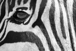 This zebra in Addo Elephant Park in South Africa was oblivious to our presence as we drove alongside. You can see our reflection in its eye! Copyright Tom Broadhurst.