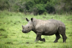 Baby southern white rhino, a product of the successful breeding programme at Ziwa Rhino Sanctuary in Uganda - the only place in the country that rhinos roam free, albeit with round the clock protection. Copyright Tom Broadhurst.