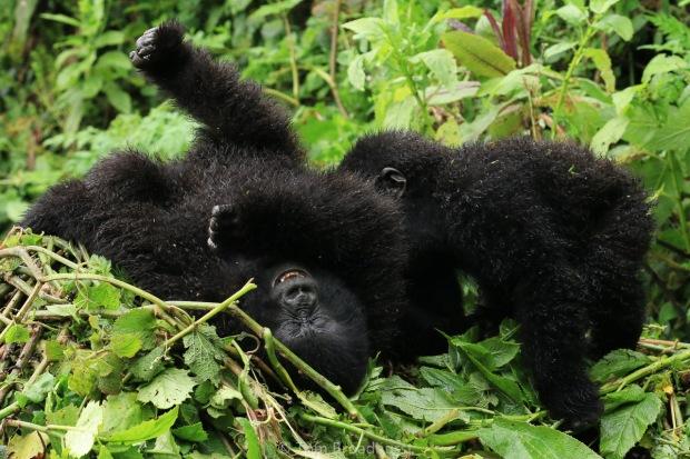 Playful gorillas